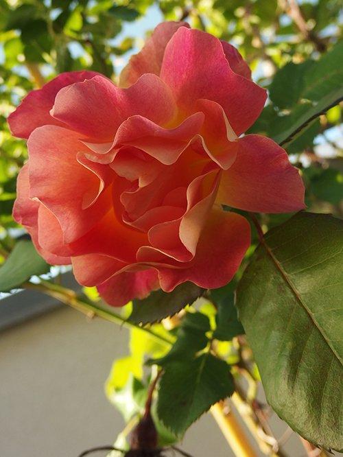Sous la rose